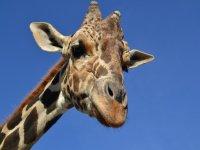 Giraffes of xenpal