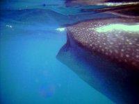 Snorquel con tiburón ballena