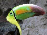 Tucan in Tuxtlas jungle