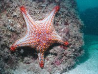 Sea star diving in sonora