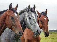 Mira a los caballos