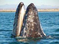 Ballenas en el Mar de Cortes