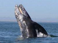 Magnifica ballena gris