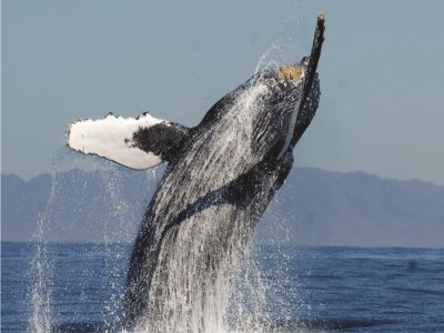 Nayarit Adventures Whale Watching