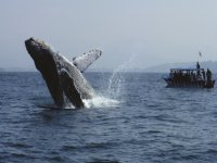 Whale swimming in nayarit