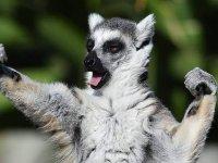 Live with a lemur
