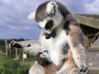 Amor de madre lemur