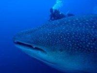 Buceando con el tiburón ballena