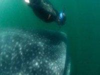 Snorquel con el tiburón ballena