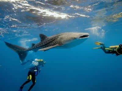 Emilio Dive Zone Nado con Tiburón Ballena