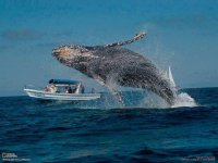 Brincos:  Esto es cuando la ballena se clava directamente por abajo y después, se da la vuelta y nada a velocidad tope (18 mph - 26 km/h.) directo hacia la superficie. Cuando la ballena llega a la superficie, su cuerpo se dispara fuera del agua, algunas veces haciendo una media voltera mientras extiende sus aletas hacia fuera, y luego, cayendo con un gran chapoteo. Se puede imaginar la impresión visual y sonora que puede crear una ballena de 30 a 50 toneladas chocando contra el agua. Se cree que esto puede ocurrir debido a que la ballena está, ya sea jugando, tratando de deshacerse de parásitos (tales como los balanos o piojos de mar), tratando de comunicarse demostrando su fuerza, tamaño y poder o para atraer la atención de otras Ballenas..  —