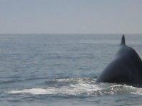 ¿Por que se llama Jorobada?  Claramente podemos ver en el diagrama de la anatomía de la ballena Jorobada que realmente no tiene una joroba en la espalda y tiene, además, una aleta dorsal relativamente pequeña. Entonces, ¿Por que ese nombre? De hecho, viene de su técnica de clavarse. De todos los mamíferos, este es el único que puede arquear su espalda de tal manera cuando se submerge, así, creando una joroba. Y por supuesto, de ahí viene su nombre.  Se le llama Ballena Jorobada porque su aleta dorsal se encuentra cerca de su cola y al sumergirse siempre la muestran......