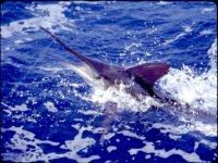 Luchando con el marlin