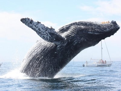 Cabo Sails Whale Watching
