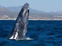 Salto de ballena gris