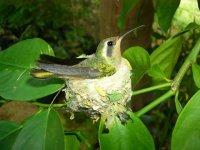 Colibri en nido