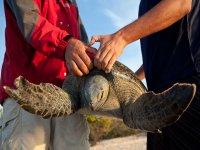 Pesando la tortuga