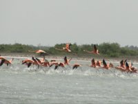 Flamingos running