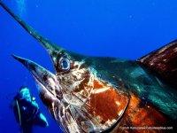 Bucear con pez vela