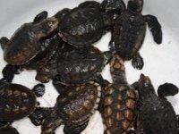 Tortugas recien nacidas
