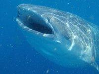 Maravilloso tiburon ballena