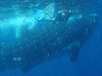 Snorkel con el tiburon ballena