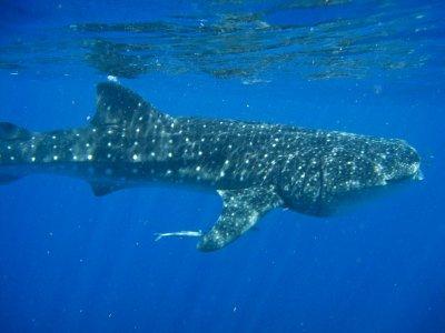 SHARK ENCOUNTERS MEXICO Nado con Tiburón Ballena