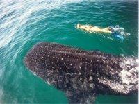 Nadar con el tiburon ballena
