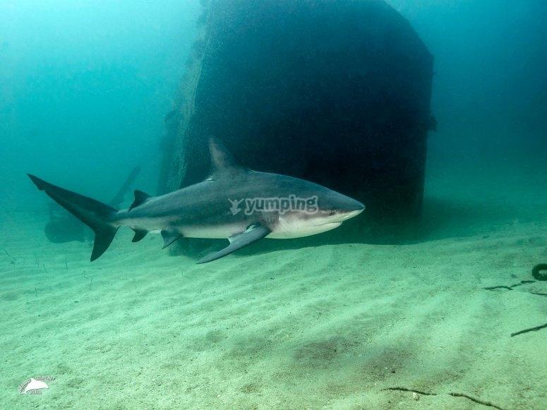 Conoce al tiburon