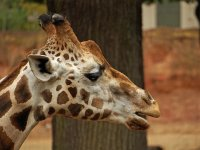 Get to know our star Tito, The Giraffe