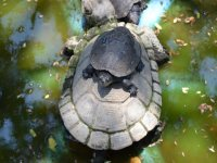 mama turtle and her baby