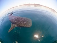 Whale shark sighting