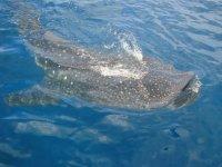 Tour snorkel con Tiburón Ballena en Isla Mujeres