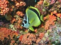 Pez entre los corales