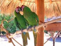 Guacamayas verdes
