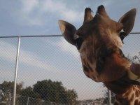 park giraffes