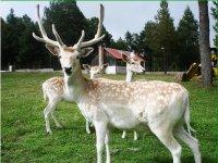 White-breasted deer
