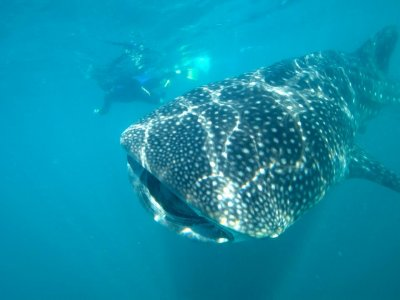 Snorkel tour with Whale Shark in Los Cabos.