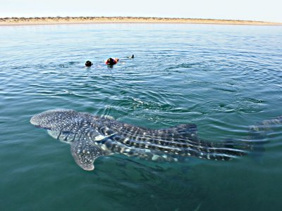 Whale shark snorkel for kids 8-10 yo.