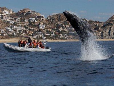 Tour avistamiento de ballenas grises en los Cabos