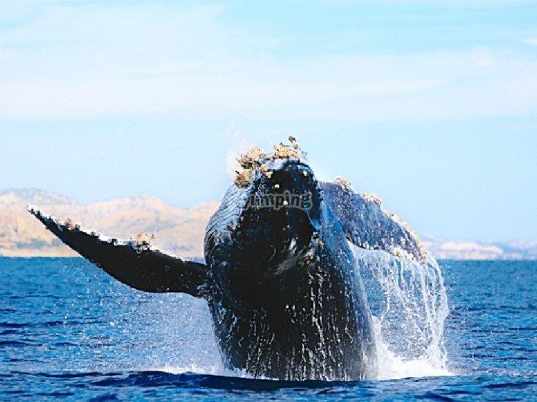 Observa las ballenas grises en Los Cabos