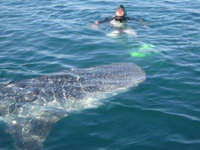 Snorkel con Tiburon Ballena en el Mar de Cortés