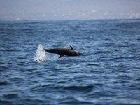 Delfín girador