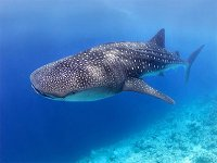 Whale shark observation