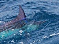 Pescando pez vela
