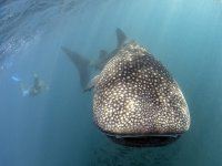 Swim with whale shark in Sea of Cortez