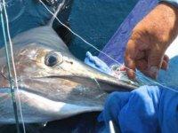 Capturando un pez espada