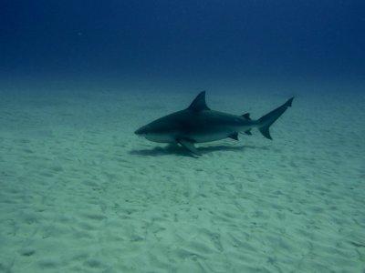 Buceo con tiburón toro 2 tanques Playa del Carmen
