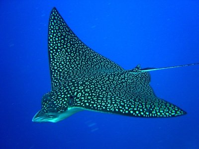 Diving with Eagle ray, 2 tanks.