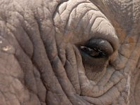 Ojo de elefante